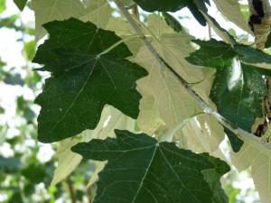 frunza plop alb